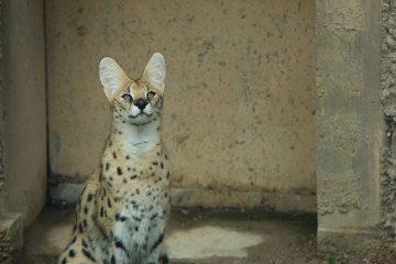 serval-1514486